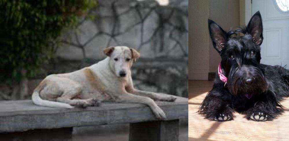 Scottish Terrier vs Askal