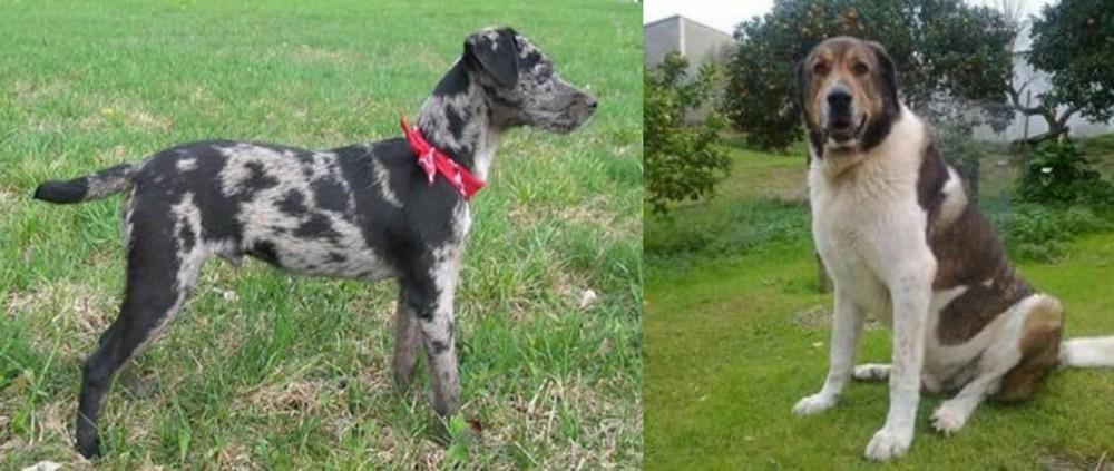 Cao de Gado Transmontano vs Atlas Terrier