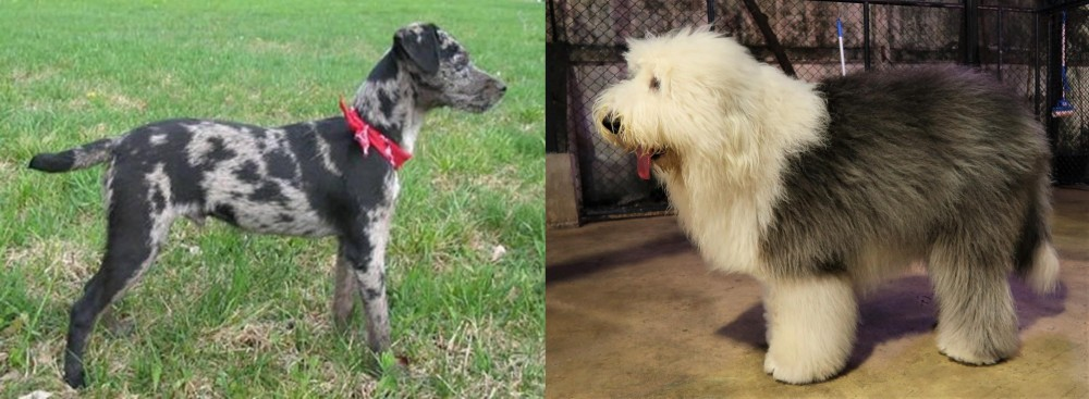 Old English Sheepdog vs Atlas Terrier