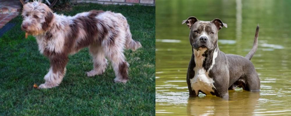 American Staffordshire Terrier vs Aussie Doodles