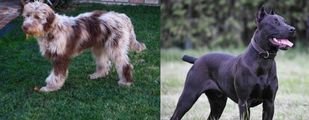 Canis Panther vs Aussie Doodles