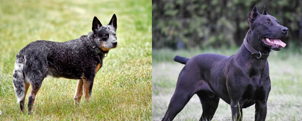 Canis Panther vs Austrailian Blue Heeler