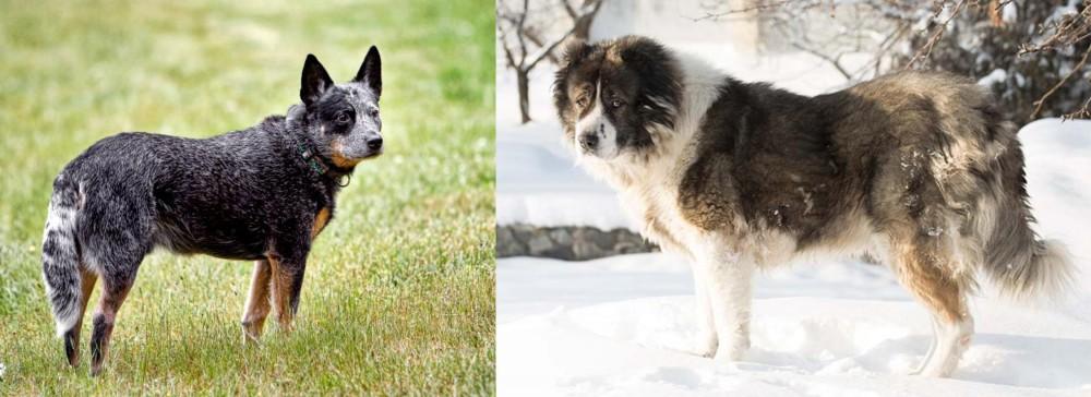 Caucasian Shepherd vs Austrailian Blue Heeler