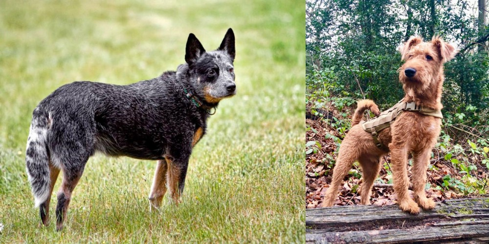 Irish Terrier vs Austrailian Blue Heeler