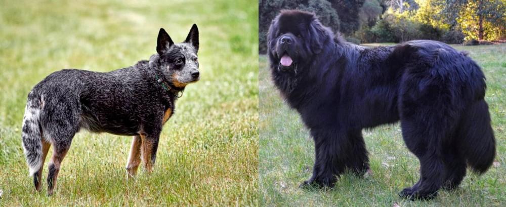 Newfoundland Dog vs Austrailian Blue Heeler