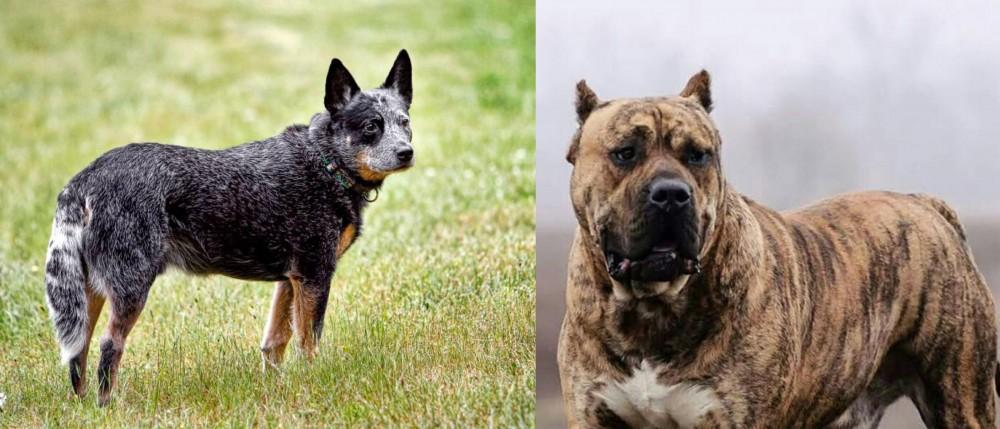 Perro de Presa Canario vs Austrailian Blue Heeler