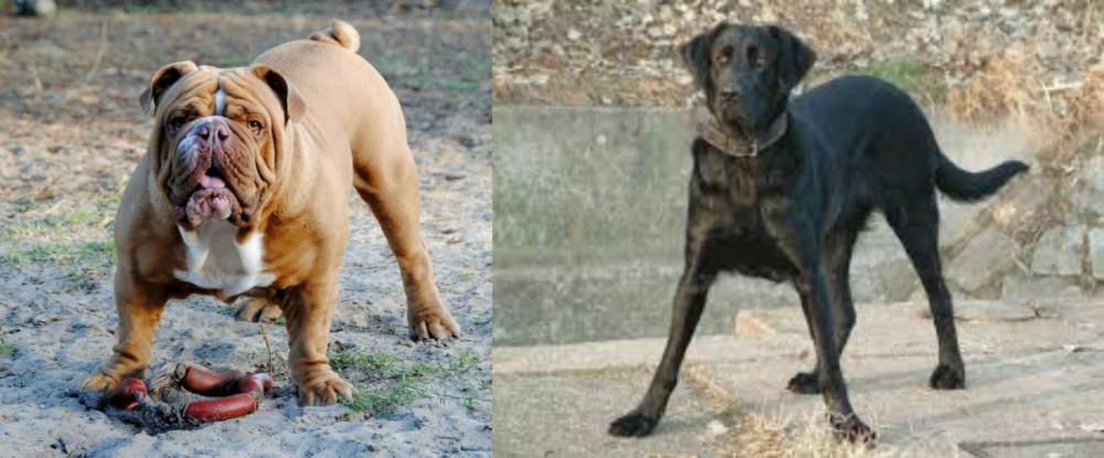 Cao de Castro Laboreiro vs Australian Bulldog