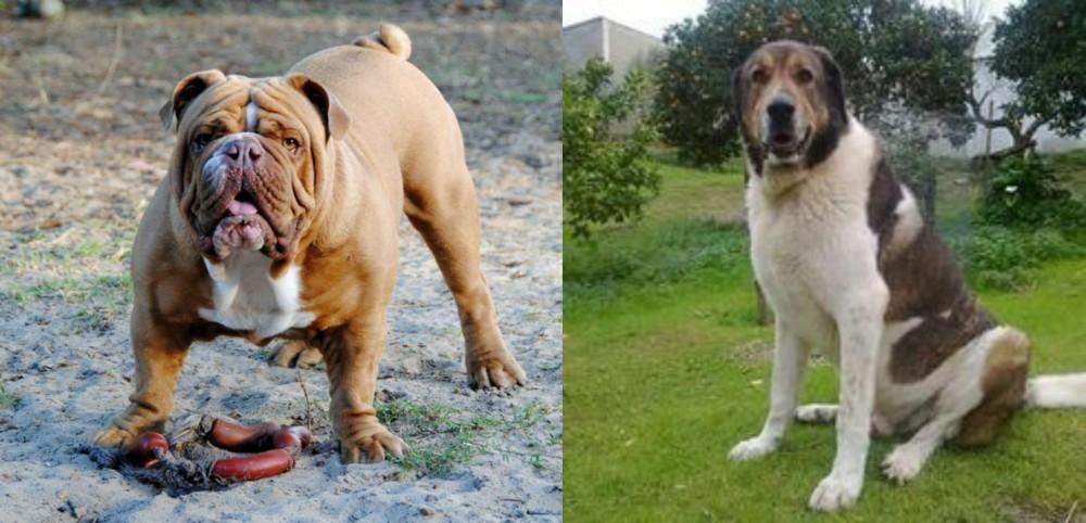 Cao de Gado Transmontano vs Australian Bulldog