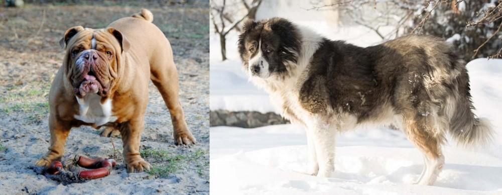 Caucasian Shepherd vs Australian Bulldog