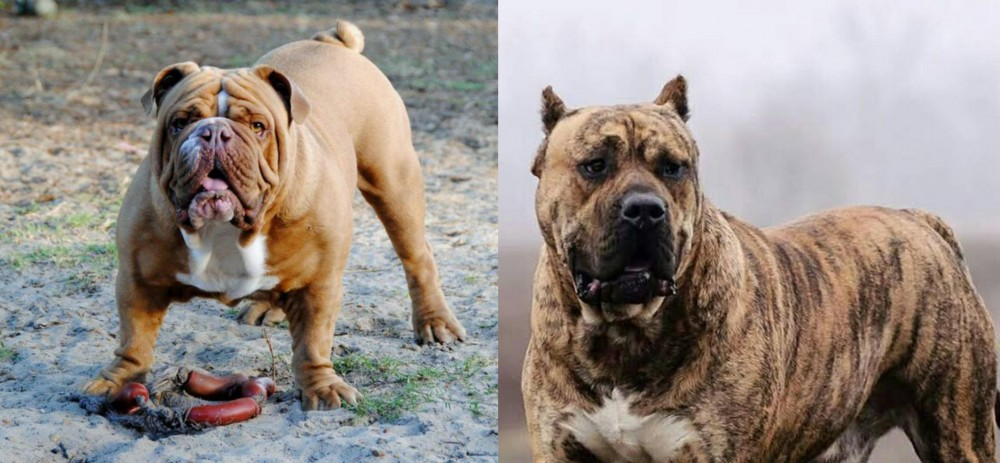Perro de Presa Canario vs Australian Bulldog