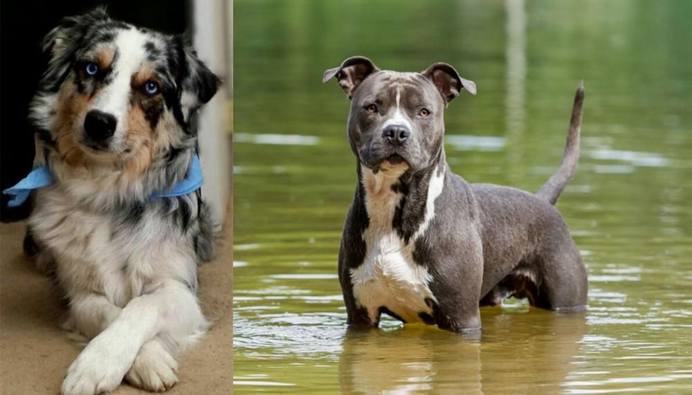 American Staffordshire Terrier vs Australian Collie
