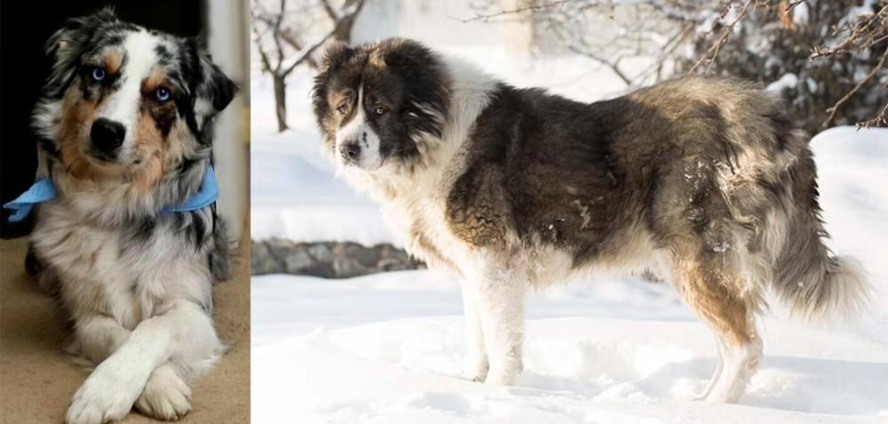 Caucasian Shepherd vs Australian Collie