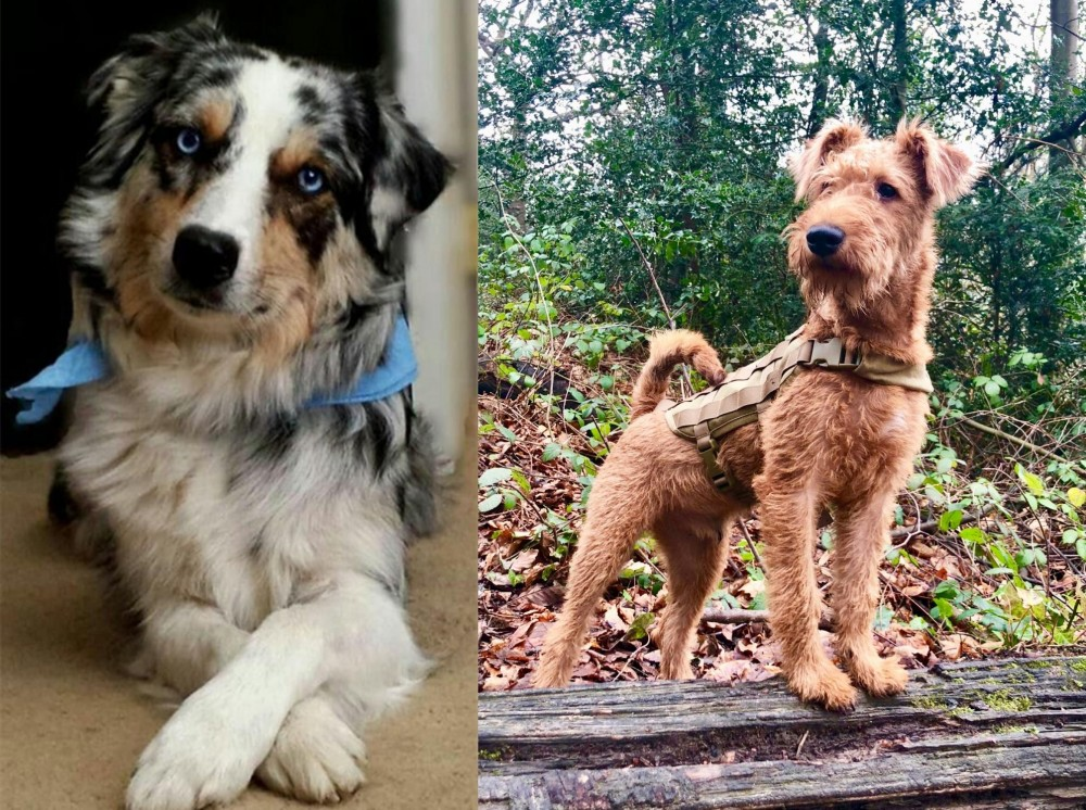 Irish Terrier vs Australian Collie