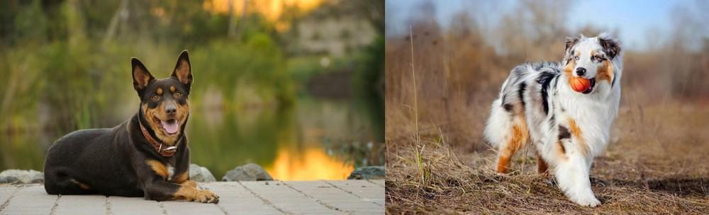 Australian Shepherd vs Australian Kelpie