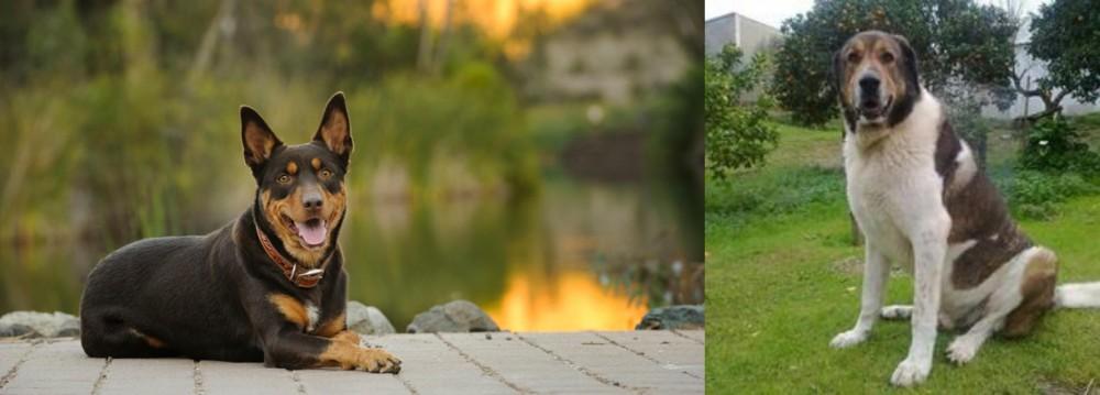 Cao de Gado Transmontano vs Australian Kelpie