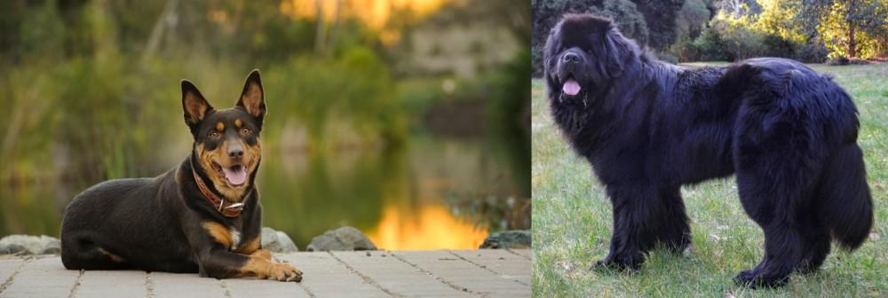 Newfoundland Dog vs Australian Kelpie