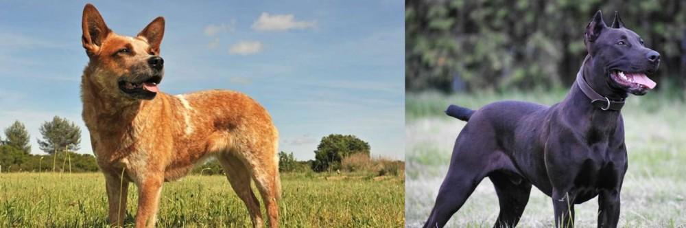 Canis Panther vs Australian Red Heeler