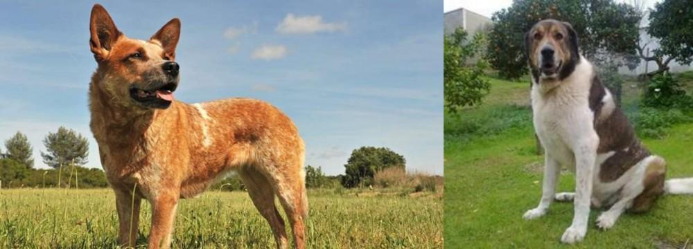 Cao de Gado Transmontano vs Australian Red Heeler