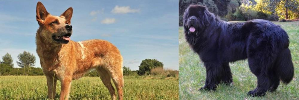 Newfoundland Dog vs Australian Red Heeler