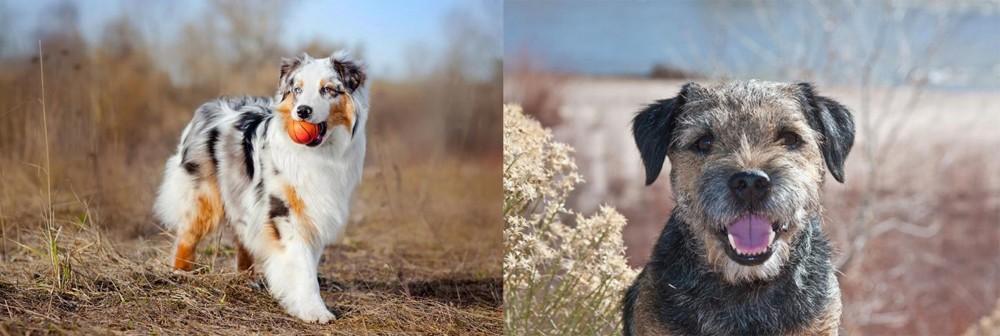 Border Terrier vs Australian Shepherd