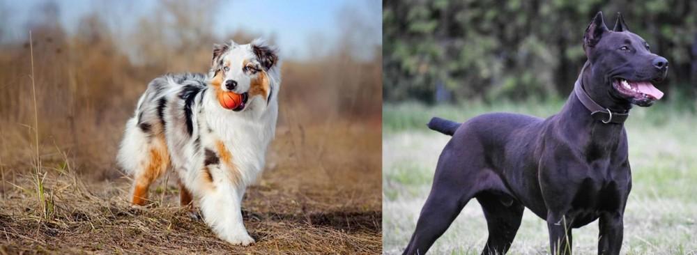 Canis Panther vs Australian Shepherd