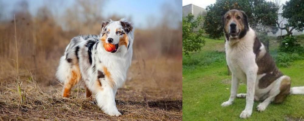 Cao de Gado Transmontano vs Australian Shepherd