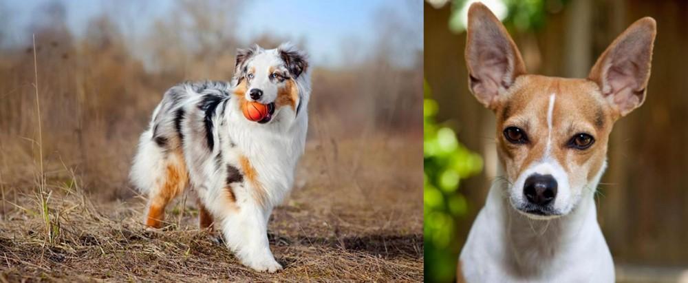 Rat Terrier vs Australian Shepherd