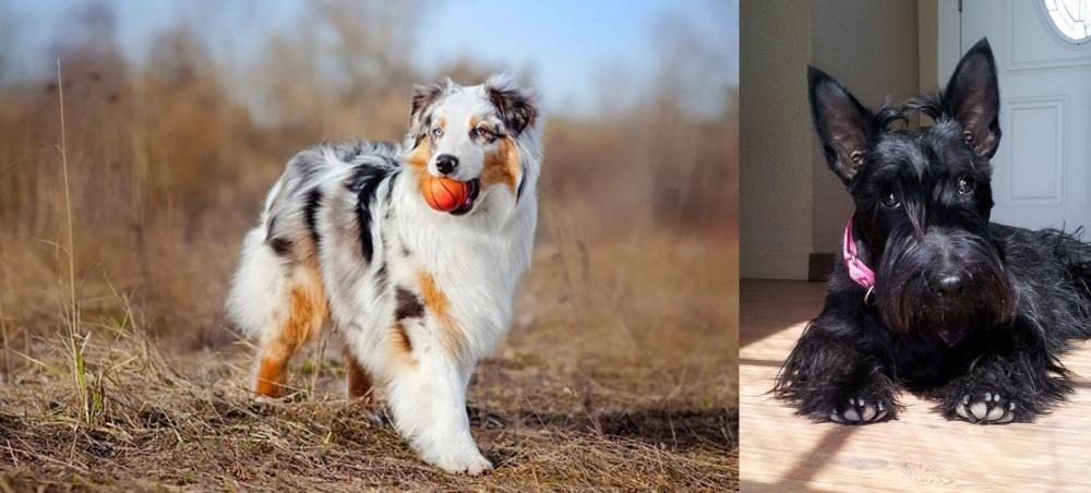 Scottish Terrier vs Australian Shepherd