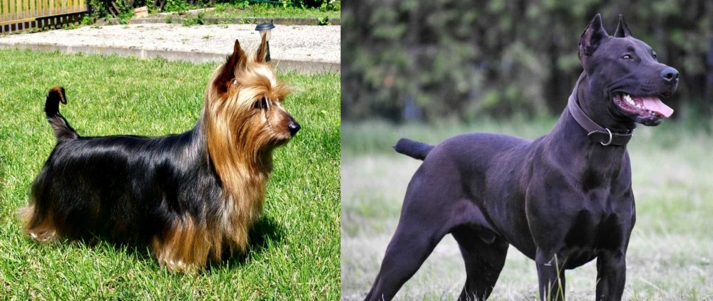 Canis Panther vs Australian Silky Terrier