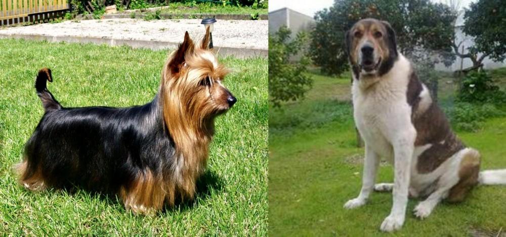 Cao de Gado Transmontano vs Australian Silky Terrier
