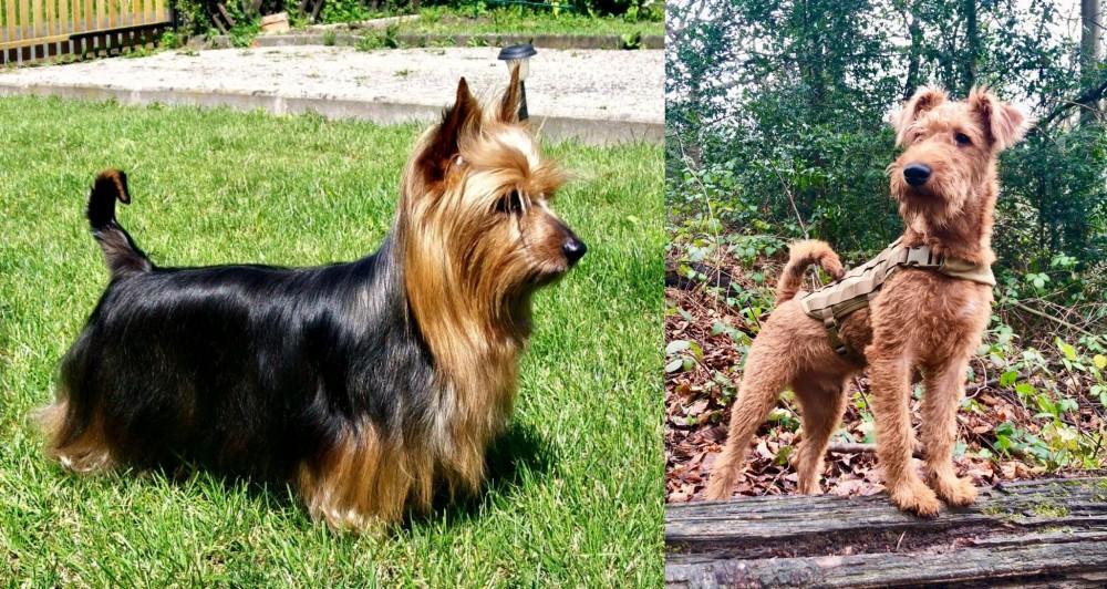 Irish Terrier vs Australian Silky Terrier
