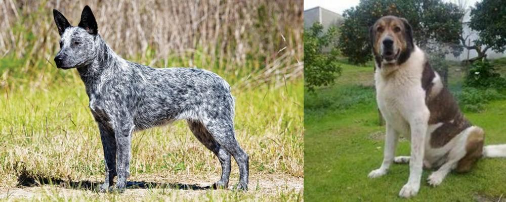 Cao de Gado Transmontano vs Australian Stumpy Tail Cattle Dog