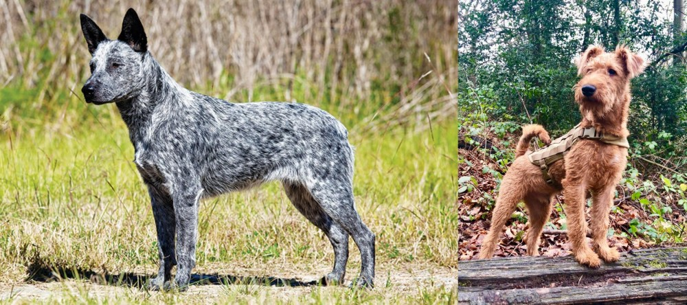 Irish Terrier vs Australian Stumpy Tail Cattle Dog