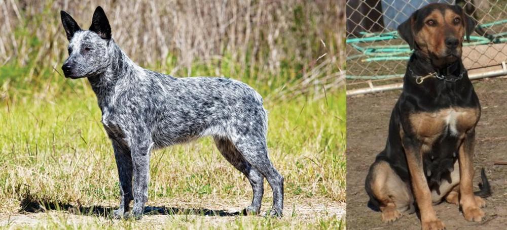New Zealand Huntaway vs Australian Stumpy Tail Cattle Dog