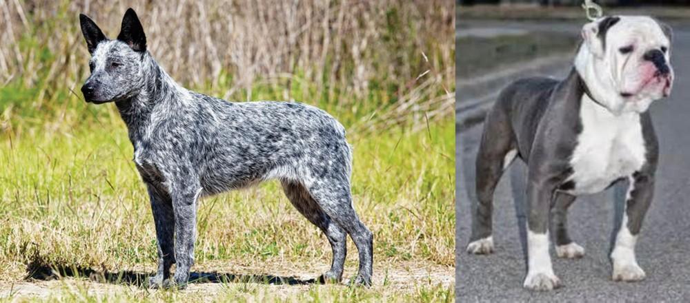 Old English Bulldog vs Australian Stumpy Tail Cattle Dog