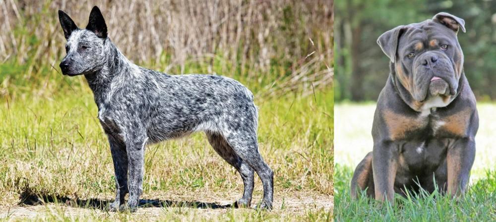 Olde English Bulldogge vs Australian Stumpy Tail Cattle Dog