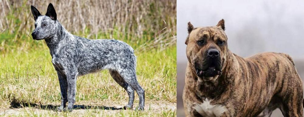 Perro de Presa Canario vs Australian Stumpy Tail Cattle Dog