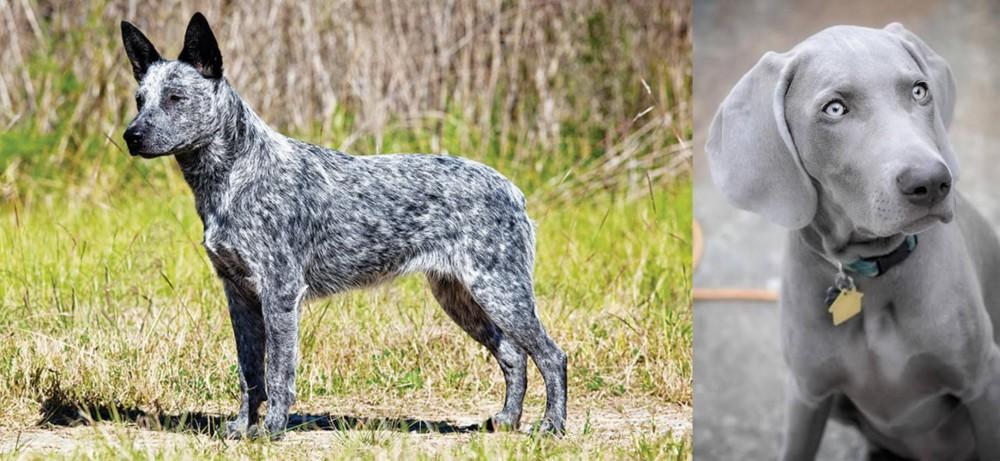 Weimaraner vs Australian Stumpy Tail Cattle Dog