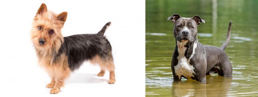 American Staffordshire Terrier vs Australian Terrier