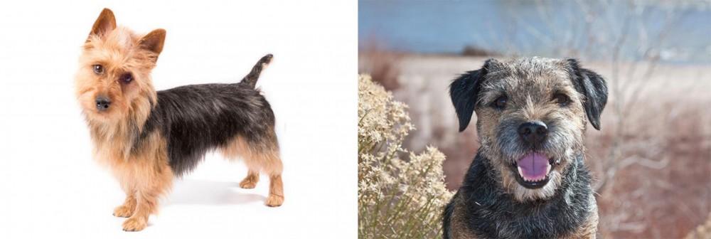 Border Terrier vs Australian Terrier