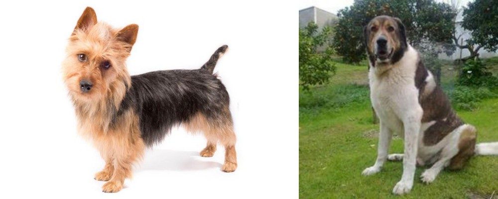 Cao de Gado Transmontano vs Australian Terrier