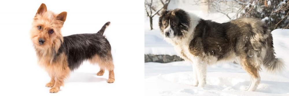 Caucasian Shepherd vs Australian Terrier