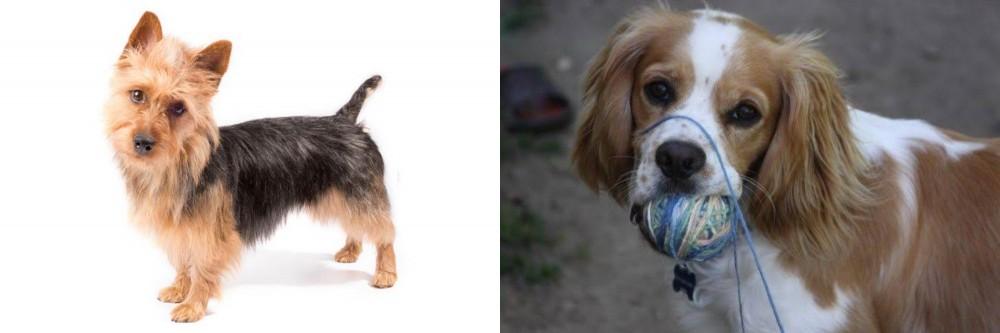 Cockalier vs Australian Terrier