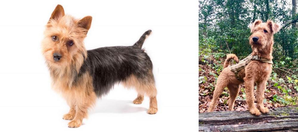 Irish Terrier vs Australian Terrier