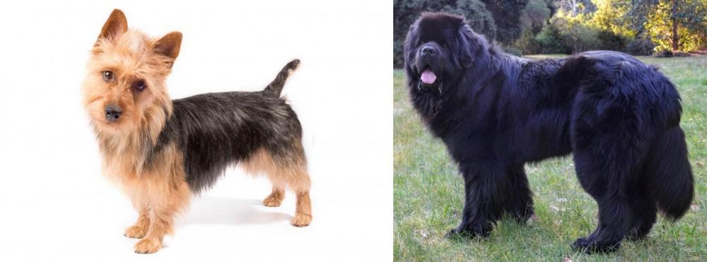 Newfoundland Dog vs Australian Terrier