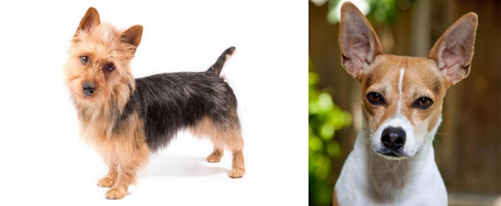 Rat Terrier vs Australian Terrier