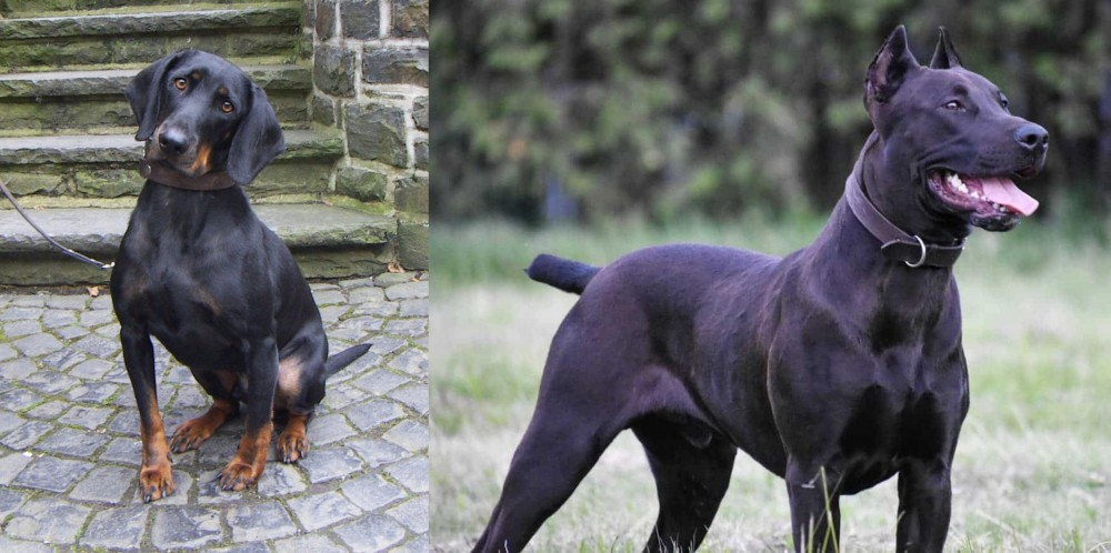 Canis Panther vs Austrian Black and Tan Hound