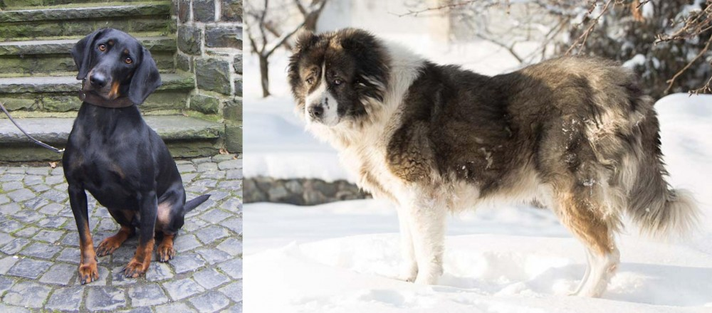 Caucasian Shepherd vs Austrian Black and Tan Hound