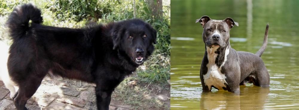 American Staffordshire Terrier vs Bakharwal Dog
