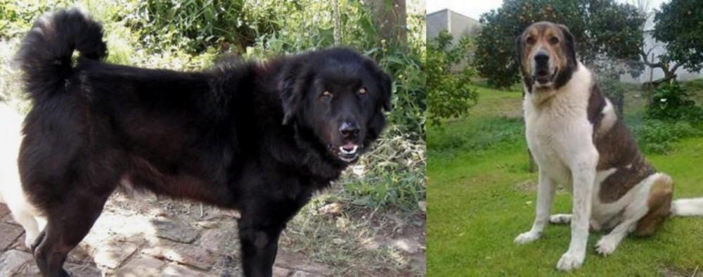 Cao de Gado Transmontano vs Bakharwal Dog